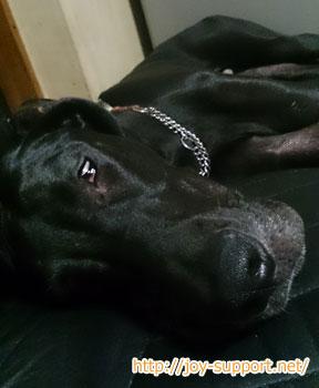 犬年齢1歳のグレートデン