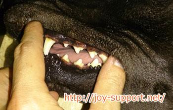 鹿の角を噛ませた後の犬の歯